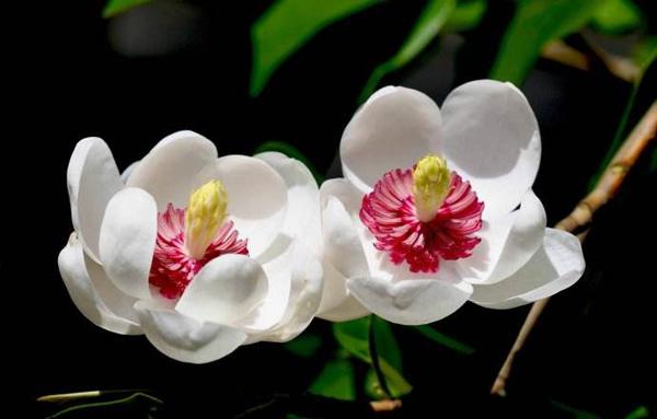天女木兰小苗价格多少钱一棵?天女木兰的种植与栽培技术介绍