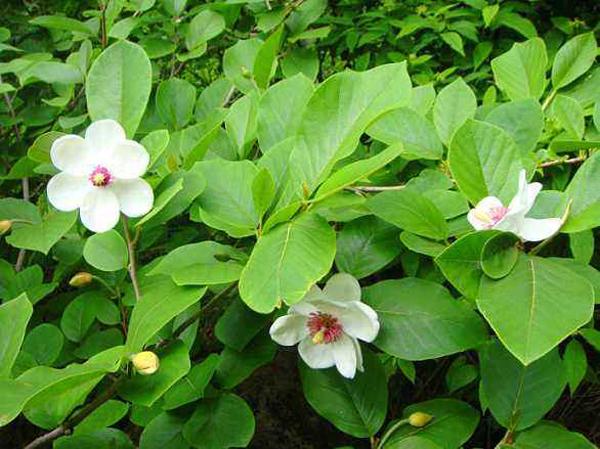 天女木兰花的幼苗价格多少钱一株?天女木兰花怎么种植?