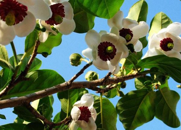 天女木兰树多少钱一棵?天女木兰花的功效与作用介绍