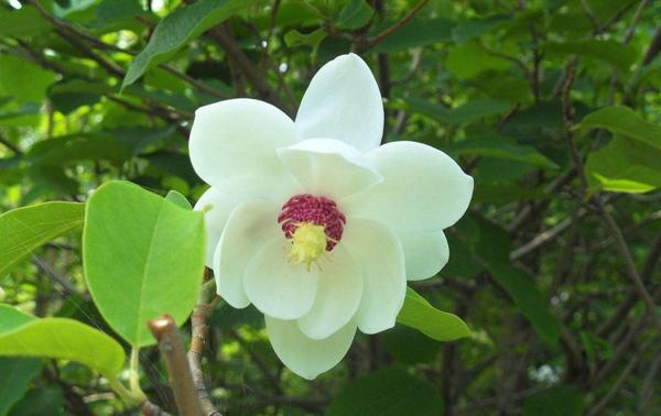 天女木兰树苗价格多少钱?天女木兰树苗几年开花?