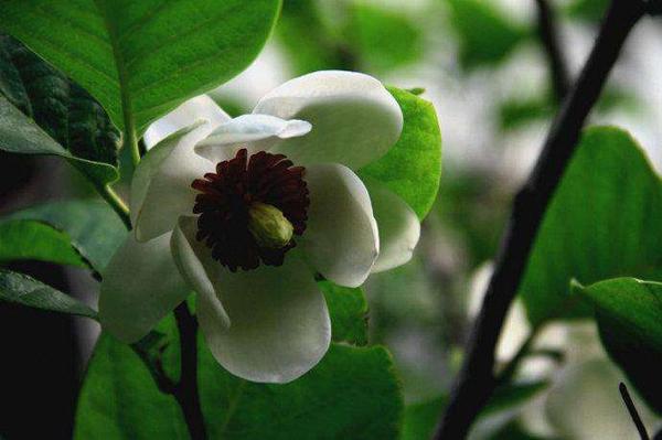 天女木兰树价格多少钱一棵?天女木兰种植技术有哪些?