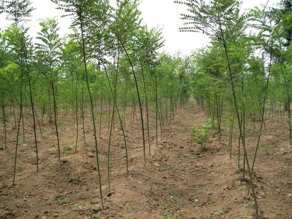 国槐小苗价格多少钱一棵?国槐树苗繁殖方法介绍