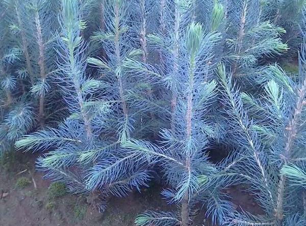 蓝杉小苗价格多少钱一棵?蓝杉树苗种植技术介绍