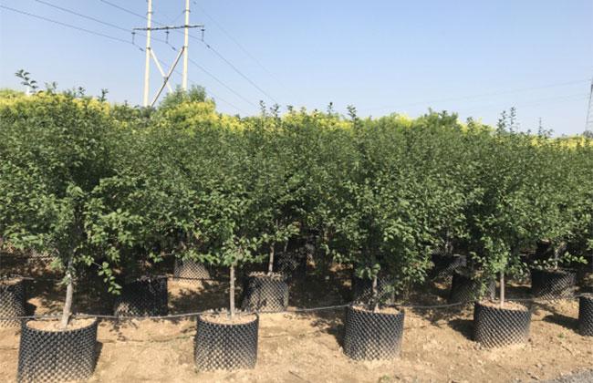 2020年绿化苗木发展行情如何?
