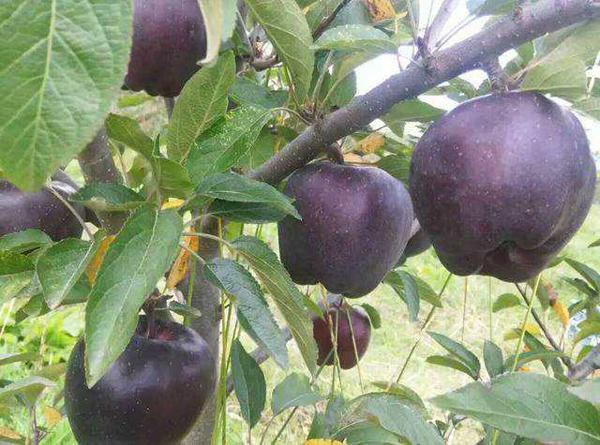 黑钻苹果市场稀缺,种植时间越长产值越高!