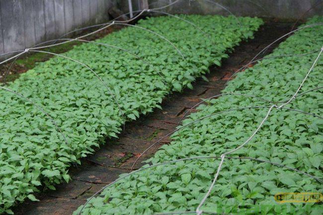 软软枣树种植几年结果