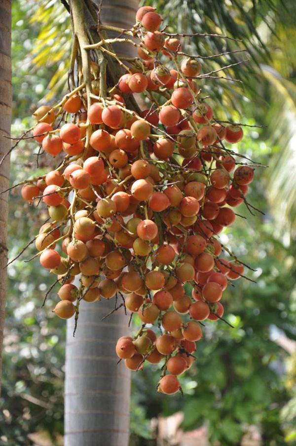 狐尾椰子果实