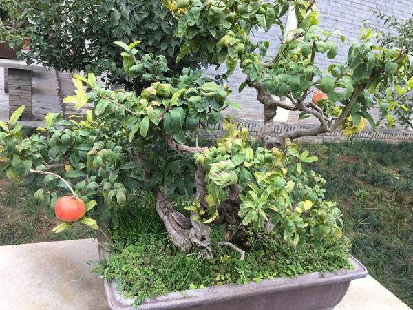 盆栽石榴和盆栽金桔的种植方法