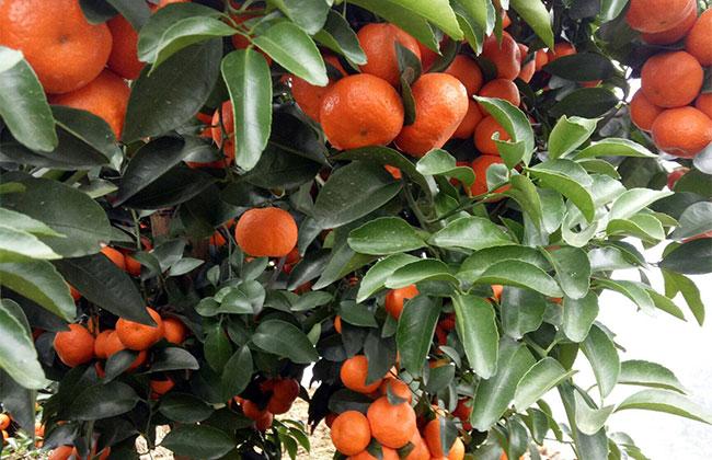 柑橘今年的市场行情如何?