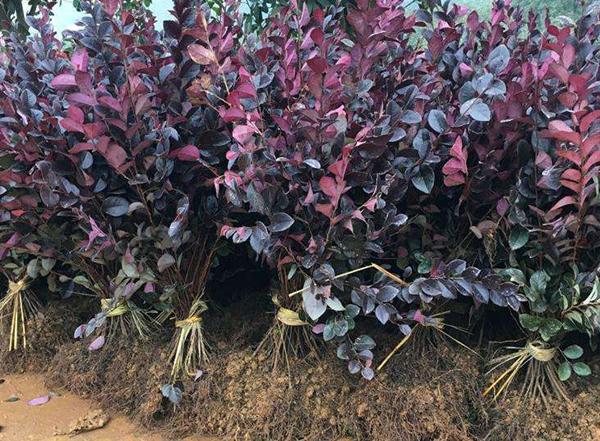红花继木小苗价格多少钱一棵?红花继木可以种植在北方吗?