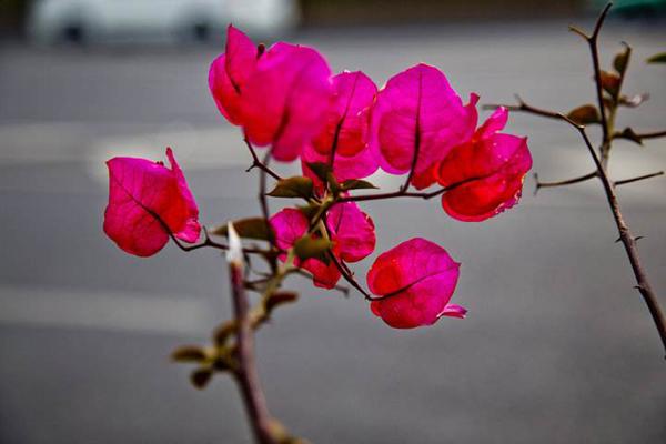 红色三角梅哪个品种好?三角梅开花最勤品种有哪些?