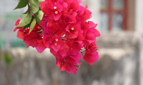 三角梅怡红重瓣开花勤吗?怡红三角梅怎么养护?