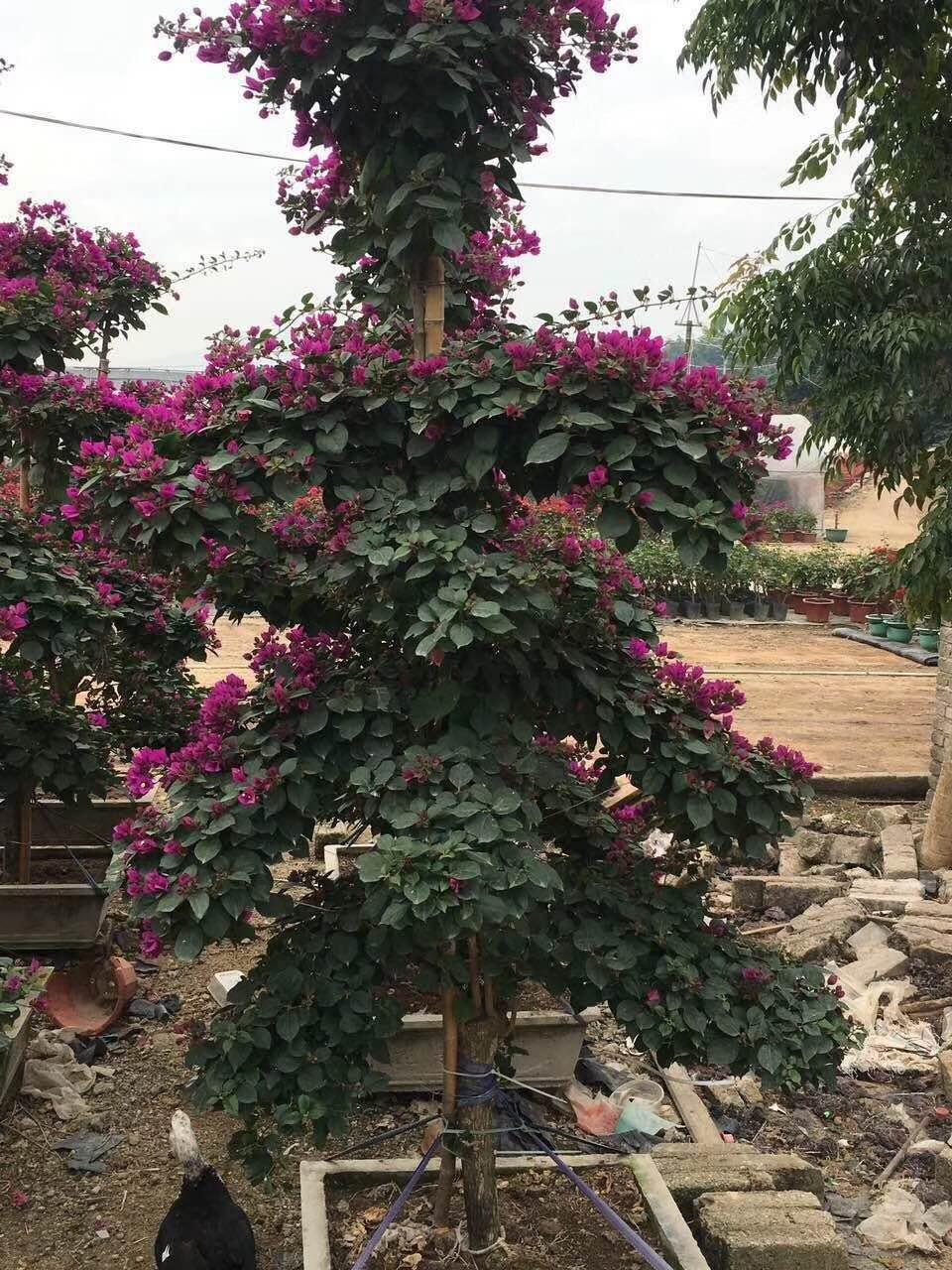 造型三角梅树苗