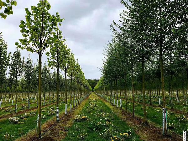 20年专注品质与创新,做苗木行业排头兵——访句容市茅山镇龙喜苗圃场