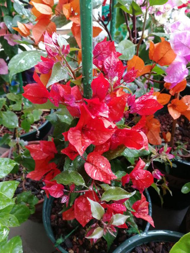 三角梅桑巴价格多少钱一棵?三角梅桑巴勤花吗?种植前景如何?