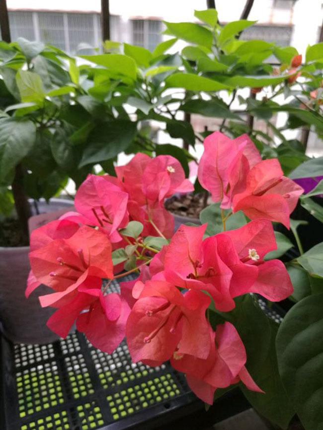 红花三角梅价格多少钱一棵?红花三角梅种植技术