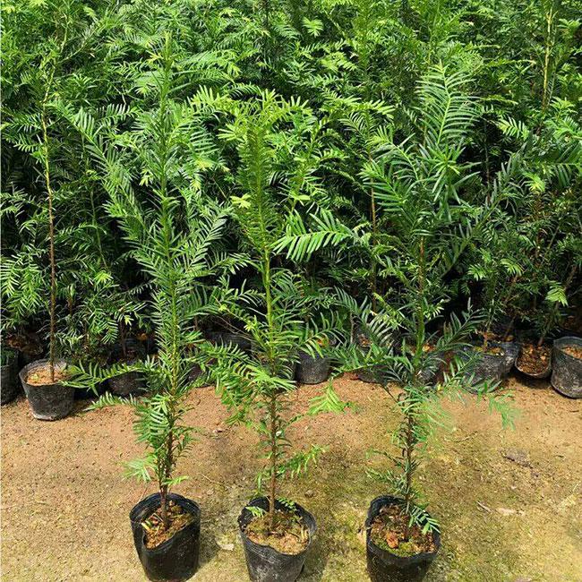 红豆杉树苗价格多少钱一棵?红豆杉怎样养?