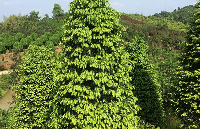 红豆杉价格多少钱一棵?家庭红豆杉的养殖方法