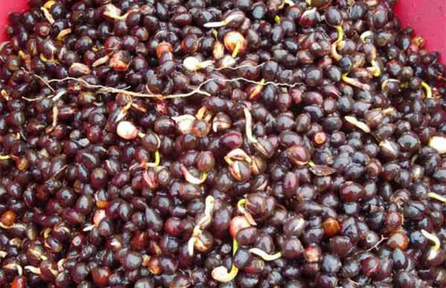 红豆杉种子多少钱一斤?红豆杉种子怎么种植?