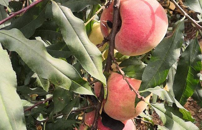 冬桃种植前景分析