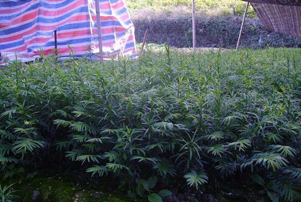 红豆杉小苗价格一棵多少钱?红豆杉树苗种植技术介绍