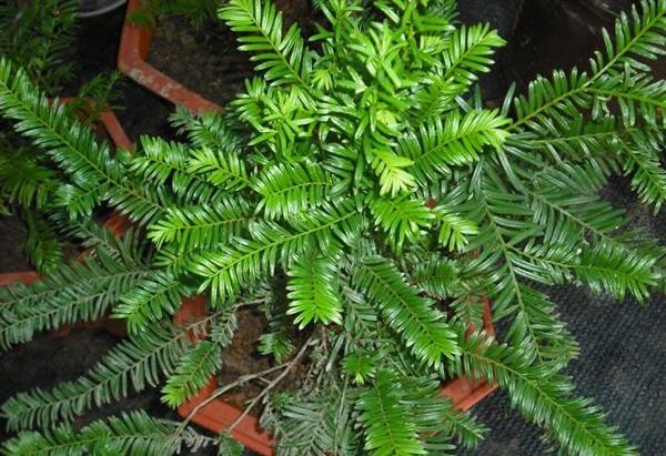 红豆杉嫁接苗多少钱一株?最新红豆杉树苗批发价格行情
