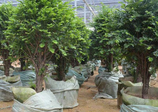 红豆杉树木价格多少钱一棵?家里养红豆杉不吉利吗?