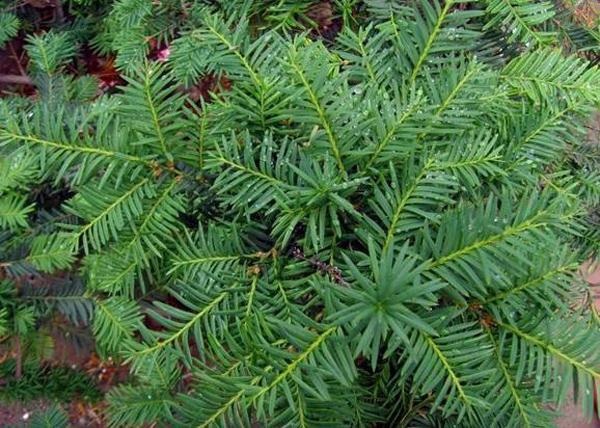 东北红豆杉苗价格多少钱一棵?门前种红豆杉寓意什么?