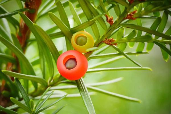 红豆杉树多少钱一棵?家里种植红豆杉的风水禁忌