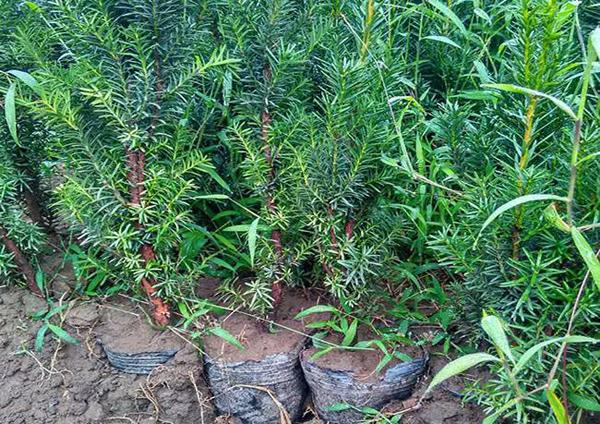 红豆杉幼苗多少钱一棵?红豆杉能在室内养吗?