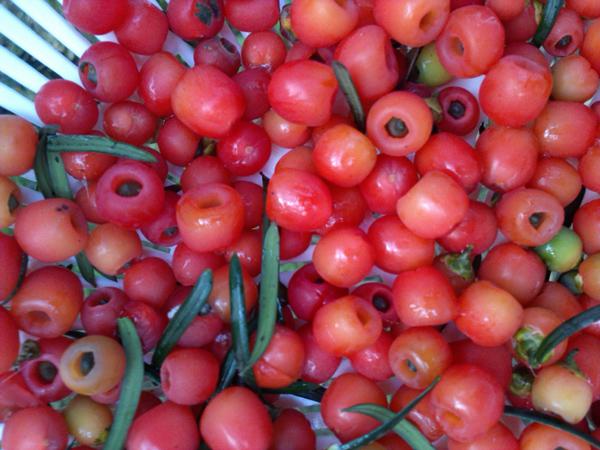 曼地亚红豆杉种子价格多少钱一斤?红豆杉怎么养?