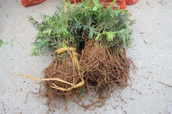 红豆杉树苗多少钱一棵?红豆杉插枝能活吗?