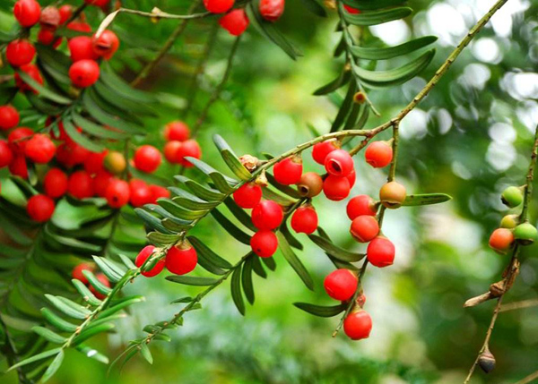 红豆杉树苗市场价格如何?中国红豆杉产地在哪里?