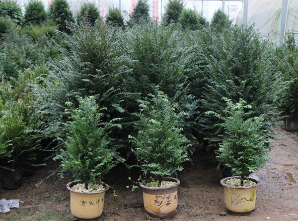 红豆杉介壳虫怎么治?红豆杉虫害用什么药?