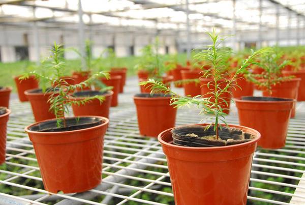 红豆杉有红蜘蛛用啥药?红豆杉叶枯病防治方法