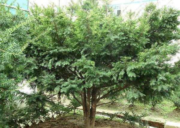 家里能不能种红豆杉?红豆杉放家哪个位置好?