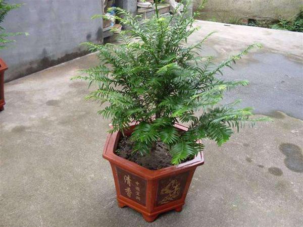 红豆杉盆栽养殖方法?红豆杉公母有什么区别?