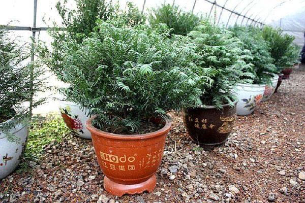 家里种植红豆杉摆放禁忌有哪些?红豆杉种植方法介绍