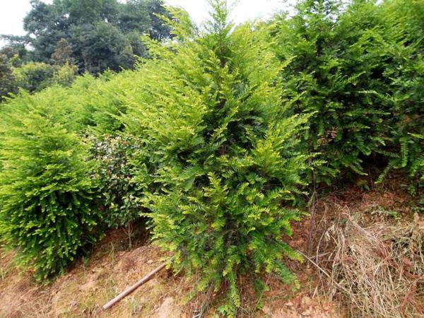 红豆杉适合在院子养吗?红豆杉几年开花结果
