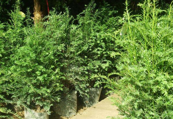 红豆杉叶子干枯怎么办?红豆杉盆景养殖方法介绍