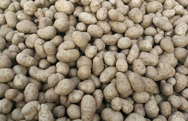 山药豆种植前景怎么样?山药豆行情分析