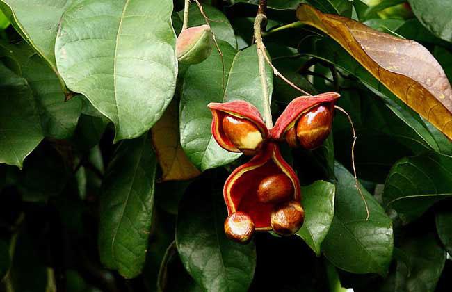 苹婆的种植前景