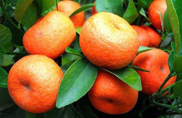 今日武鲜柑苗价格 目前最好的柑橘品种有哪些?
