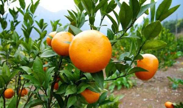 茂谷柑苗价格多少钱一棵?茂谷柑果苗种植技术