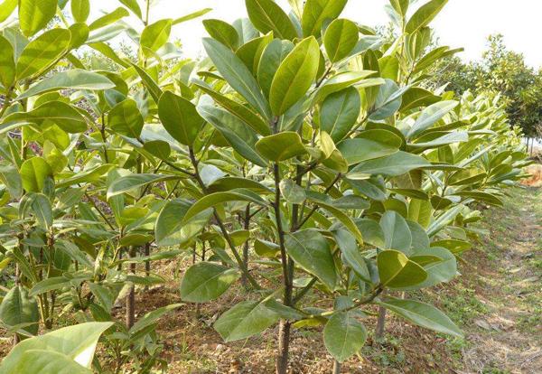 广玉兰小苗价格多少钱一棵?玉兰树种子种植方法