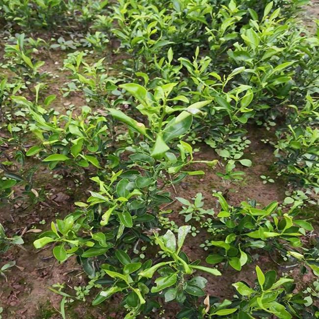 柑橘适合种植在哪里?柑橘种植技术与管理