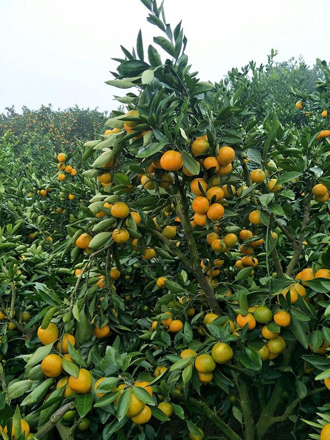 龙回红脐橙苗的价格?桔树怎样嫁接成活率高