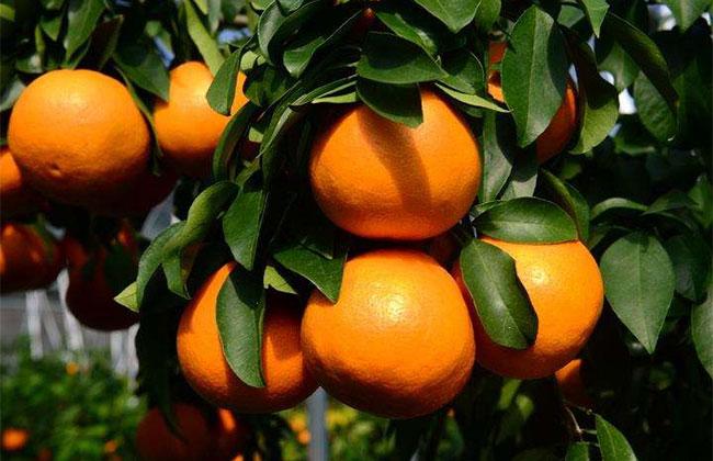 红美人柑橘苗价格 红美人柑橘苗有几种?