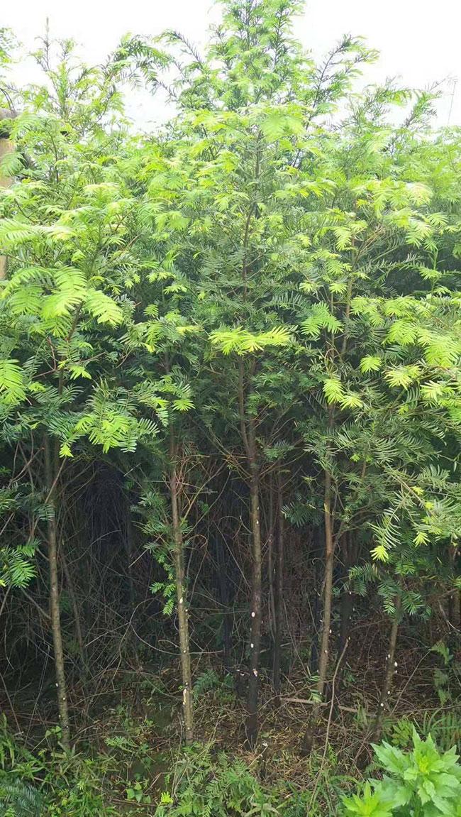 红豆杉苗木价格多少钱一棵?红豆杉如何种植?