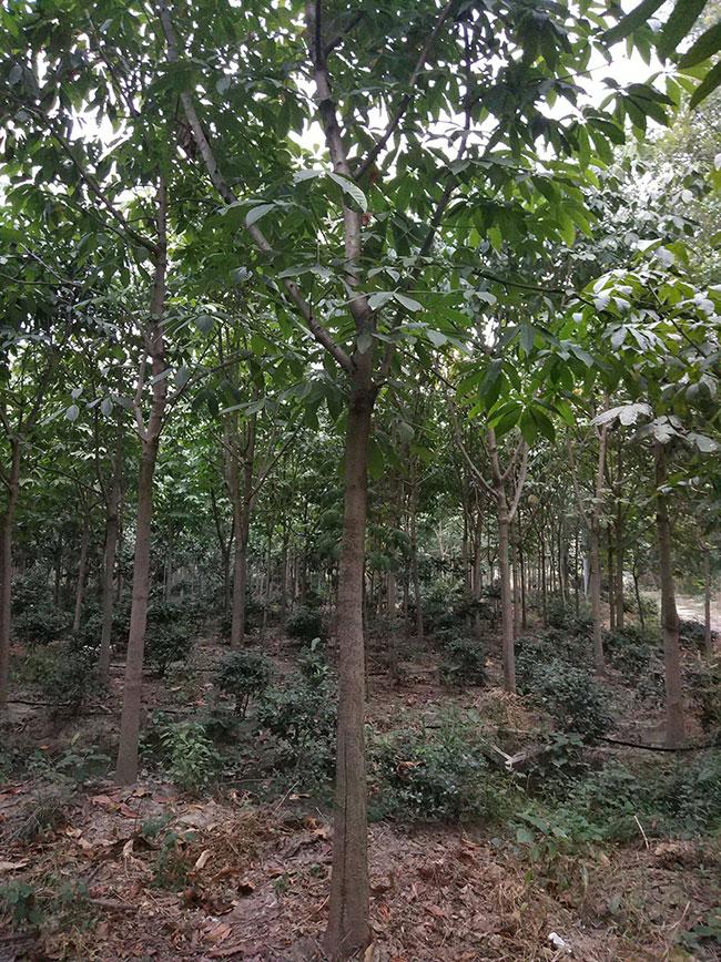 七叶树苗木价格多少钱一棵?七叶树种植方法和注意事项
